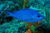 stock photo of hamlet  - Blue Hamlet swimming over a coral reef - JPG