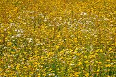 image of swales  - yellow and white chamomiles at meadow in summer day - JPG
