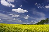 stock photo of yellow flower  - Yellow flowers and the blue sky - canola fields in Poland ** Note: Slight blurriness, best at smaller sizes - JPG