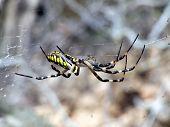 Garden Spider Side View