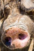 Pork muzzle