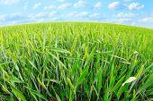 Common wheat field.