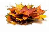Heap Of Autumn Maple Leaves poster