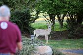 Wild Black Tail Deer. Wild Black Tail Deer eat corn left for them by an Animal Lover. A man talks to poster