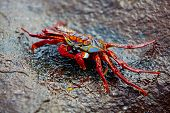 image of crustations  - Close up of a Sally lightfoot crab on a rock - JPG