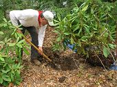 Man transplanting rhododendron