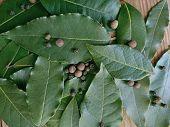 Bay Leaf Or Laurel (laurus Nobilis) & Allspice Pepper On Wooden Background. Organic Fresh Green Bay  poster