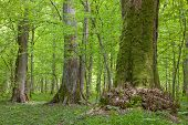 Old Linden Trees At Sumertime Forest