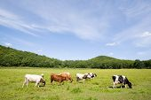 Cows are grazed on a meadow