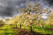 pic of apple orchard  - Apple orchard in blossom with dark stormy clouds - JPG