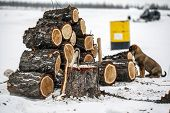 Winter, An Ax With Logs Of Firewood, Harvesting Firewood In Northern Alaska poster
