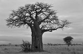 image of baobab  - Baobab or boab - JPG