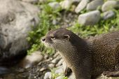 Malasian Shortclawed Otter