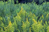 image of goldenrod  - Background of Goldenrod in a prairie of northern Illinois - JPG