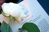 Wedding White Rose
