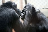 Chimps Socializing