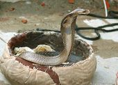 stock photo of king cobra  - king cobra dancing to flute in the market of Rishikesh in India