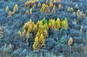 Conifer In Autumn