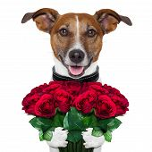 stock photo of dog-rose  - valentine dog with a bouquet of red roses - JPG