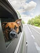 a boxer dog riding in a car