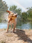 stock photo of mans-best-friend  - a labrador retriever shaking off water - JPG