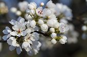 foto of alabama  - This is a spring blooming Bradford, or Callery , pear tree blossom cluster. These snow white blooms illuminate the countryside here in Morgan County Alabama USA.