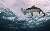 Underside of a Hammerhead Shark