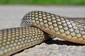 Non- Poisonous Aesculapius' Snake