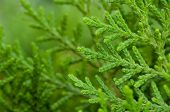 Close Up, Pine Leaves, Green, Vibrant, Natural