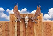 Skull Moose Hung On Wall