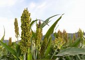 picture of sorghum  - Closeup of sorghum ear on a field in Thailand - JPG