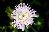 Aster Genus Of Herbaceous Plants In The Family Asteraceae