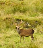 picture of cervus elaphus  - Majestic European Red deer  - JPG