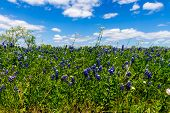 A Closeup Shot of a Field Blanketed with Beautiful Texas Bluebonnet Wildflowers