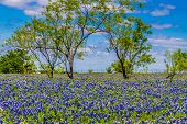 stock photo of wispy  - A Beautiful Wide Angle Shot of a Field Blanketed with the Famous Texas Bluebonnet  - JPG