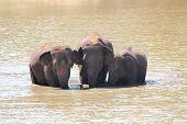 Three Majestic Indian Elephants(elephas Maximus Indicus) In Lake