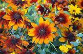 foto of black-eyed susans  - Beautiful orange and yellow black - JPG