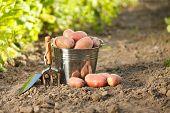 Potatoes And Garden Tools