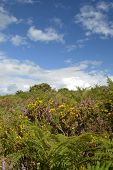 Heather Gorse and Blue Skies in The Ashdown Forest