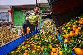 Chinese Farmer Working On Fruit Washing Machine, Processes Harvest Oranges.