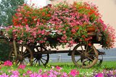Wooden Wagon With Many Blooming Geraniums In Summer In The Mountains