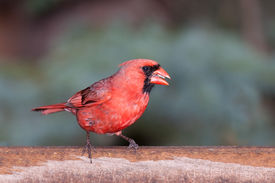 picture of cardinal-bird  - On a wet damp day a cardinal sits on top of a bird feeder eating seeds - JPG
