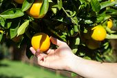 picture of tangerine-tree  - Hand collecting up a tangerine from a tree. Organic orange tree