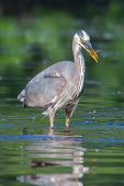 stock photo of bluegill  - Great Blue Heron fishing in the low lake waters in soft focus