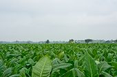 picture of tobaco leaf  - green tobacco field in thailand in cloudy day - JPG