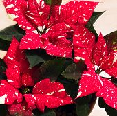 White Speckled Poinsettia Flowers