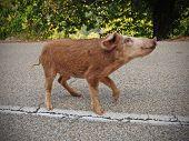 Happy piggy in Corsica