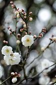 stock photo of early spring  - White plum blossoms - JPG