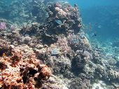image of damselfish  - Coral reef teaming with reef fish - JPG