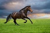 stock photo of bridle  - Bay horse runs gallop on the green field